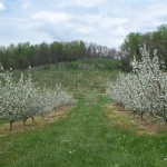 Spring Blossoms Orchard Row