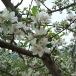 Spring Blossoms Close up 2