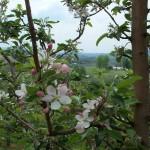 Spring Blossoms Close up 4