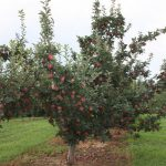 Red Del Apple Trees 2010