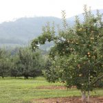 apple-orchard 2010