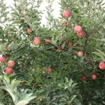 apples-tree 2010